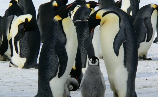 Group of penguins and baby penguins